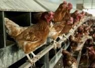 Galinha Caipira - instalações para a implantação da avicultura