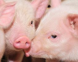 Curso Profissionalizante de Processador de Carne Suína