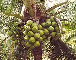 Curso Profissionalizante de Produtor de Coco