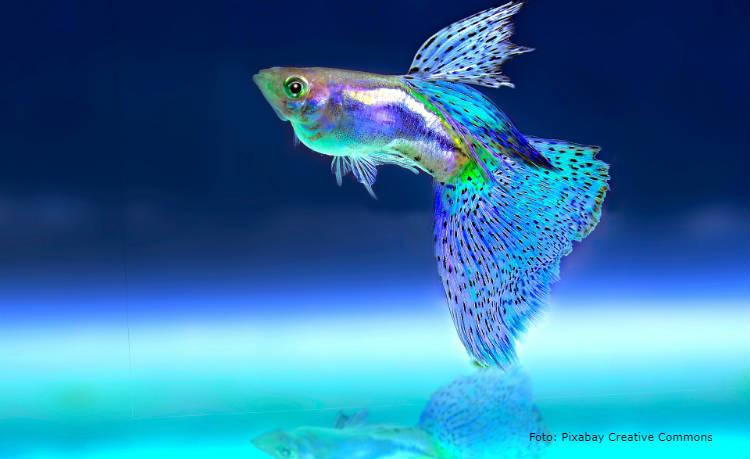 Recomendações para montar criação de peixes ornamentais