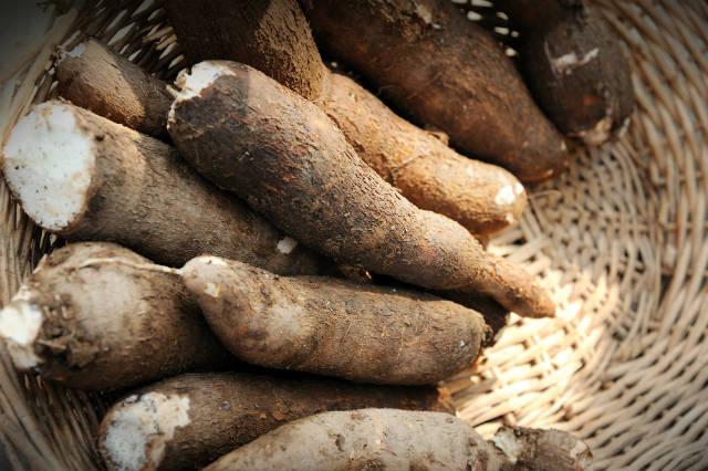 Produção caseira de fécula de mandioca