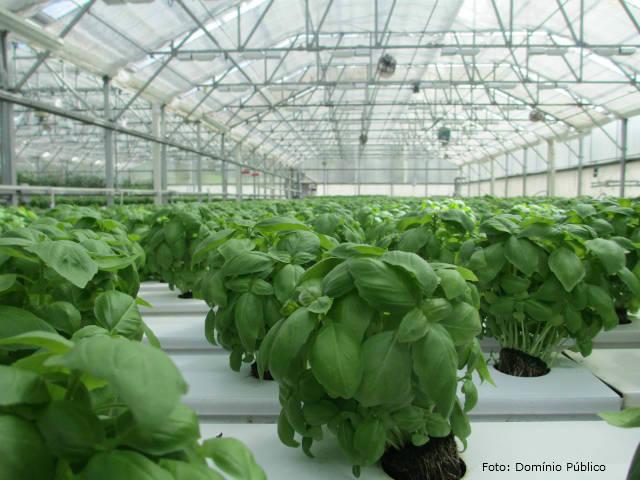 Agricultores investem na produção de temperos frescos