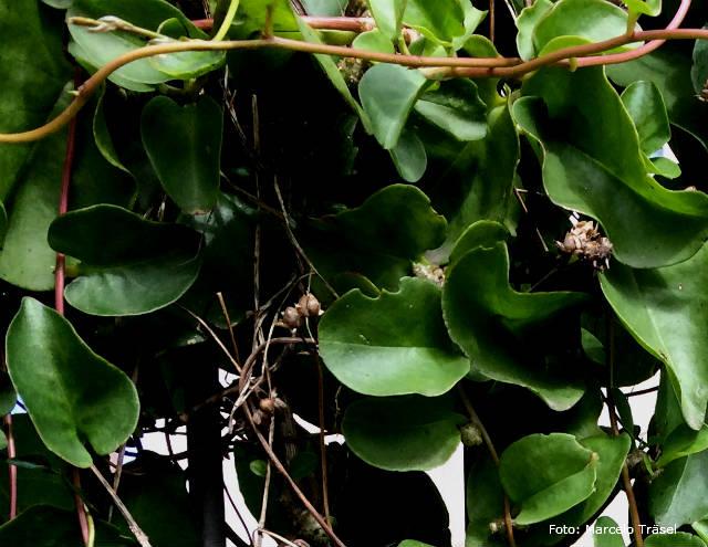 Bertalha - planta medicinal de uso culinário