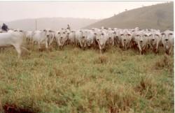 Alimentação de gado de corte na seca