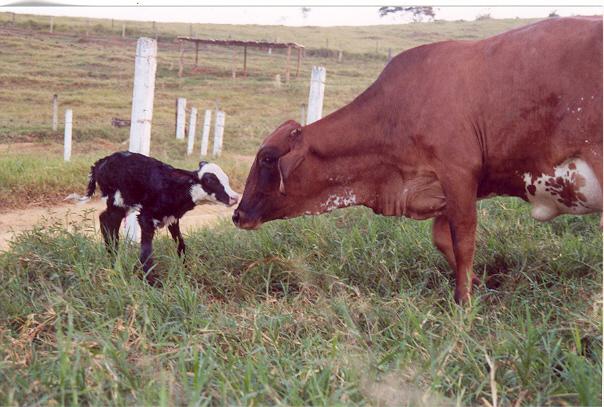 Resultado de imagem para vacas mesticas lactantes