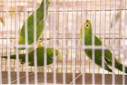 papagaios, araras e maritacas