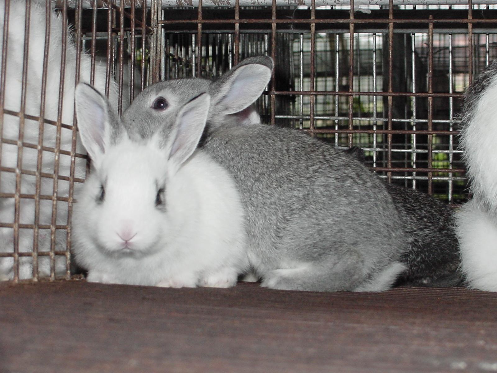 raças de coelhos