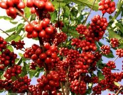 A colheita feita no momento certo e de maneira técnica faz com que o café atinja qualidade e preço no mercado