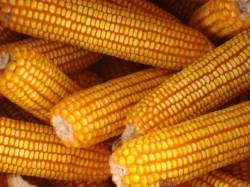 Espiga de milho - Portal Agropecuário