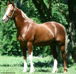 Quarto de Milha: conheça a raça de cavalos considerada a mais popular do mundo