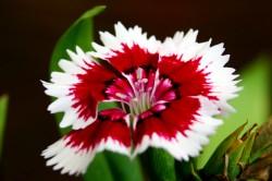 Flor Cravina Anã Singela Sortida