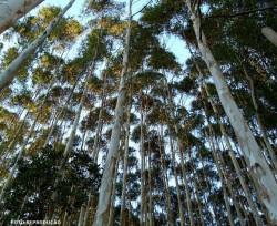 Eucalipto: tratamento em autoclave garante longevidade da madeira