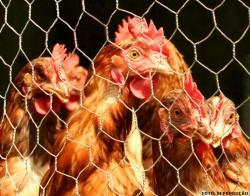 Frangos e galinhas: a importância de conhecer as doenças para fazer a prevenção