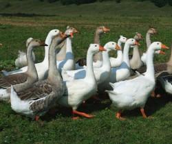 Criação de gansos: aves com várias funções e com baixo investimento