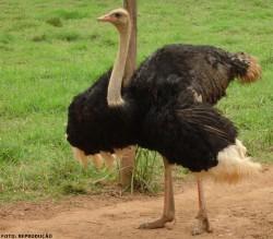 Criação de avestruz: saiba as características principais desta ave