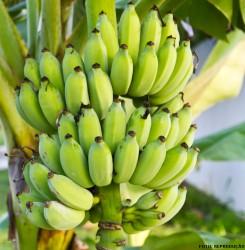 Cultura da banana: conheça as principais cultivares plantadas no Brasil