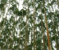 Cultivo do eucalipto: como escolher a espécie ou clone a ser plantado