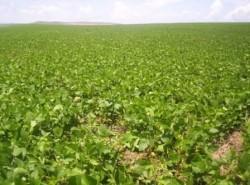 Helicoperva: ameaça real na safra agrícola brasileira