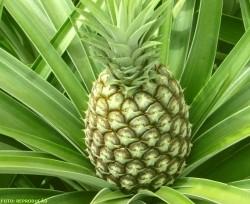 Cultivo do abacaxi: conheça as principais doenças dessa fruta tropical.