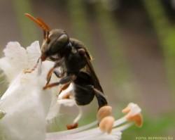 Criação de abelhas: conheça as abelhas sem ferrão