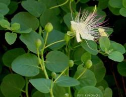 Como cultivar as nutritivas alcaparras (Capparis spinosa)