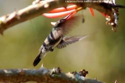 Características que destacam o beija-flor dentre demais aves