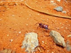 Controle das formigas cortadeiras (quenquéns e saúvas)