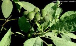 Jurubeba (Solanum paniculatum L.) - planta medicinal para tratamento dos males digestivos
