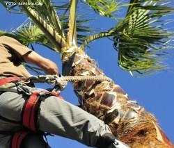 Métodos de colheita de cocos maduros