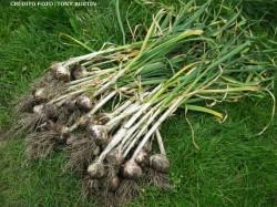 Cultivo de alho (Allium sativum)  e principais propriedades
