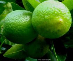Limão-Taiti - controle das Cochonilhas (Orthezia praelonga e Pinnaspis aspidistrae)