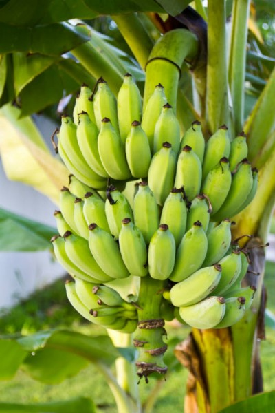 Principais pragas da banana