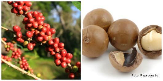 Plantio consorciado de café com macadâmia