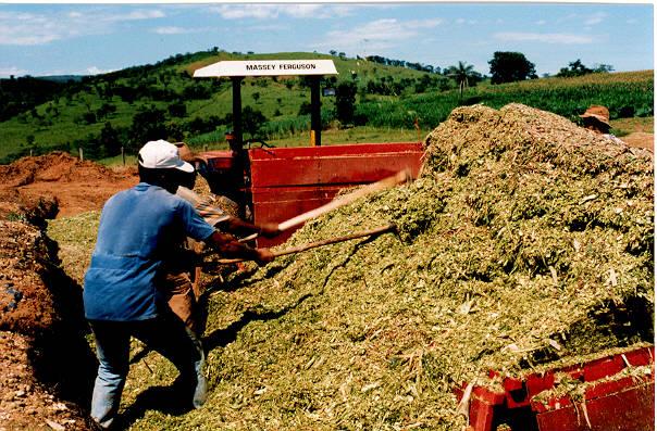 Nutrição animal: como obter boa silagem do milho