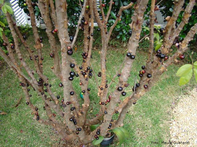 Jabuticabeira - a importância da poda para evitar fungos