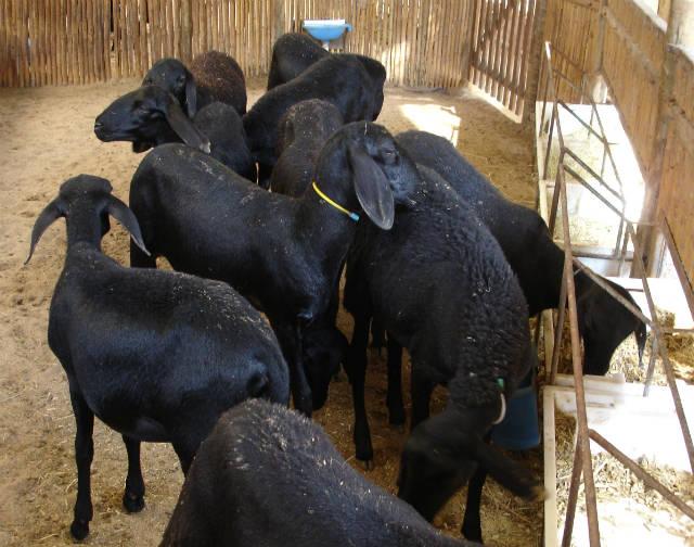 Produção de carne ovina - perspectivas de crescimento e rentabilidade
