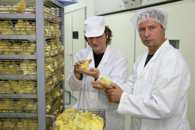 Temperatura ideal para incubar ovos de galinha
