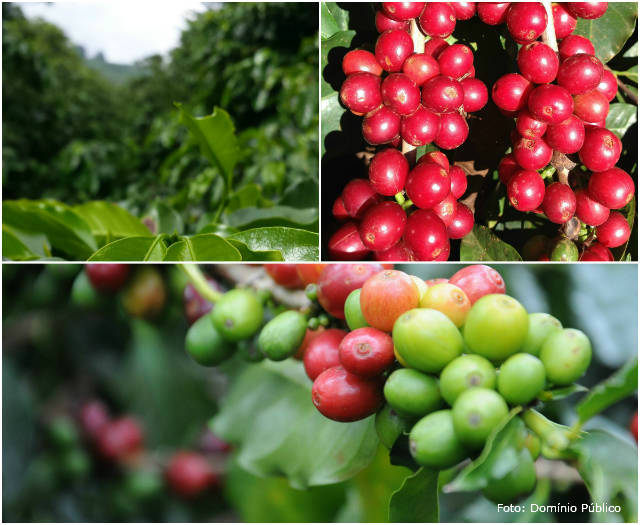 Manchas marrons no fruto do café em fase de maturação