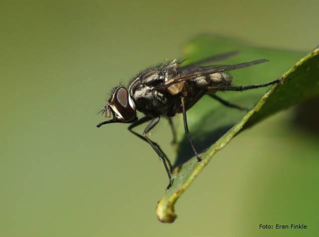 Cuidado com a mosca-dos-estábulos