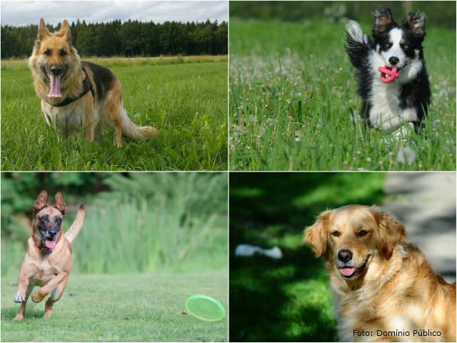 Conheça belas raças de cães pastores