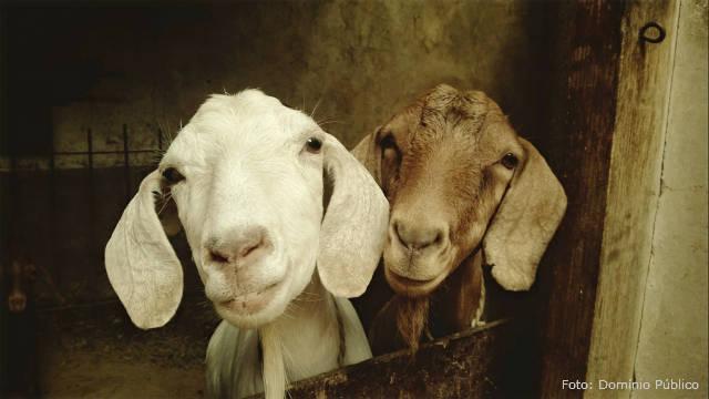 Por que as ovelhas não seguram a próxima cria