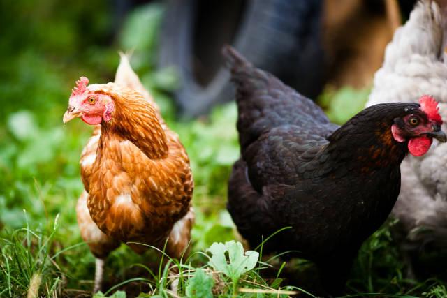 Criação de galinhas - tire suas dúvidas