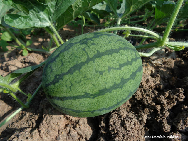 Produção de melancia - dicas imperdíveis