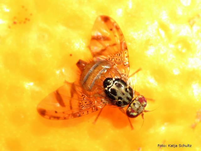 Fruticultores pernambucanos sofrem com a mosca-das-frutas