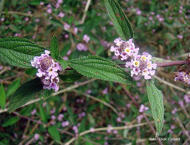 Saiba mais sobre o cultivo de erva cidreira (Lippia alba)