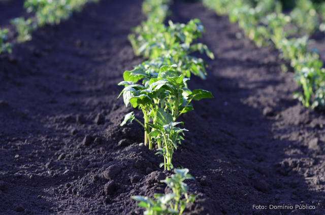 Batata Yacon - 5 dicas de plantio