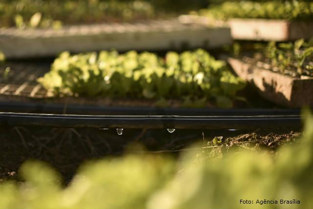 Produtividade da cebola aumenta com irrigação por gotejamento