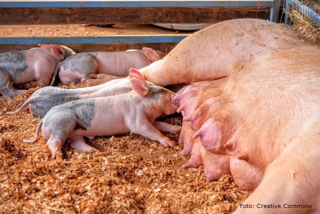 SMMA - Síndrome da Mamite, Metrite e Agalaxia em porcas