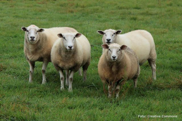 Ceratoconjuntivite infecciosa causa cegueira em ovelhas, mas tem cura