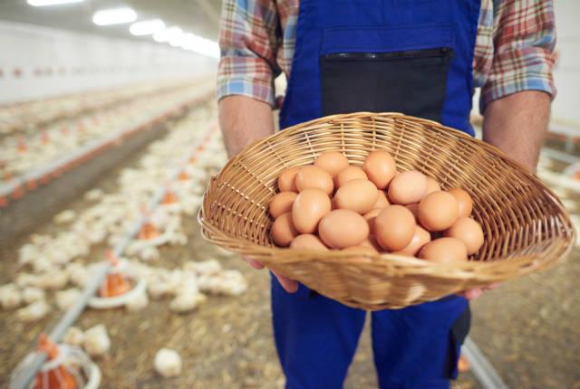 Manejo das aves bem feito aumenta produção de ovos